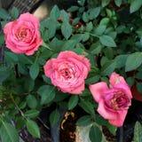 日本玫瑰 免版税库存照片