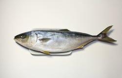 日本琥珀鱼或黄色尾巴鱼 免版税库存图片