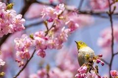 日本白眼睛鸟 免版税库存图片