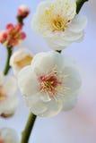 日本白色李子宏观细节在阳光下进展 免版税图库摄影