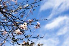日本的樱花(佐仓)有蓝天的覆盖背景 库存照片