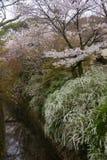 日本的樱花 免版税库存照片