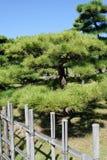 日本盆景杉树 库存照片