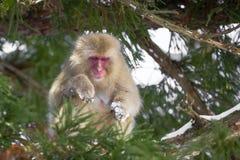 日本短尾猿在树中部  库存照片