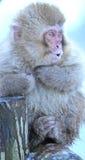 日本短尾猿在长野 免版税库存照片