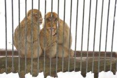 日本短尾猿家庭  图库摄影