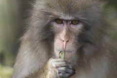 日本短尾猿年轻人 库存图片