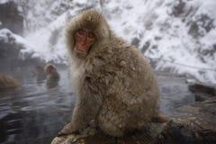 日本短尾猿或雪猴子,猕猴属fuscata 库存图片