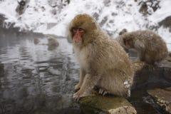 日本短尾猿或雪猴子,猕猴属fuscata 免版税库存图片