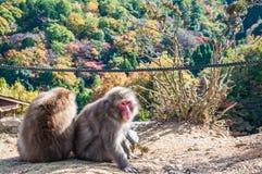 日本短尾猿, Arashiyama,京都,日本 免版税库存照片