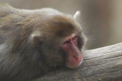 日本短尾猿画象 免版税库存照片