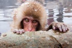 日本短尾猿 免版税图库摄影