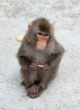 日本短尾猿 图库摄影