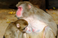 日本短尾猿 库存图片
