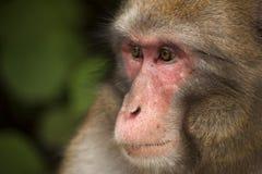 日本短尾猿 免版税库存照片