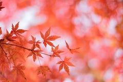 日本秋天槭树宏观细节离开与被弄脏的背景 免版税库存照片