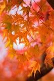 日本秋天槭树宏观细节离开与被弄脏的背景 图库摄影