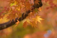 日本秋天槭树宏观细节离开与被弄脏的背景 库存图片