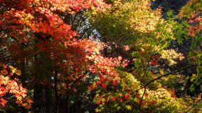 日本秋天槭树森林 免版税库存图片