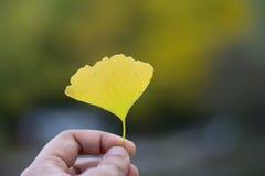 日本秋天黄色银杏树叶子 图库摄影