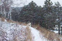 日本秋田Inu在一条多雪的道路的森林里在美丽的杉木和桦树中的冬天 库存照片