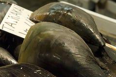日本笔壳蛤蜊或Tairagai 图库摄影