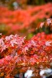 日本红槭的美好的秋天颜色离开与blured 免版税库存图片