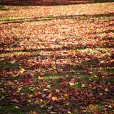 日本红色叶子在地板冬天 库存照片