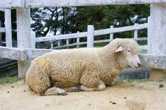 日本绵羊 图库摄影