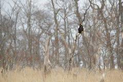 日本老鹰在栖所,干燥森林美丽的Steller ` s海鹰, Haliaeetus pelagicus,飞行的鸷,与海水, Hok 免版税库存图片