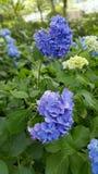 日本蓝色开花,垂直的取向 库存照片