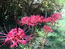 日本蜘蛛lilys 免版税图库摄影