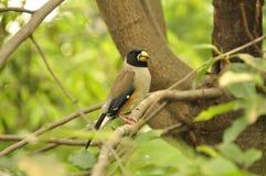 日本蜡嘴鸟(Eophona personata) 免版税库存照片
