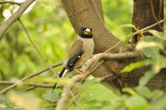日本蜡嘴鸟(Eophona personata) 免版税图库摄影