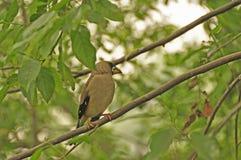 日本蜡嘴鸟(Eophona personata) 库存照片
