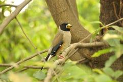 日本蜡嘴鸟(Eophona personata) 库存图片