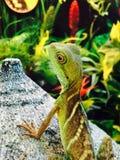 日本蜥蜴 库存照片