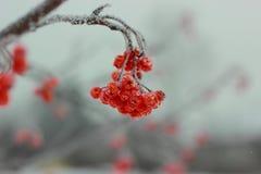 日本质河西伯利亚晴朗的汤姆 免版税库存图片