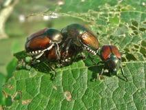 日本金龟子, Popillia japonica 库存图片