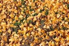 日本银杏树叶子 免版税库存图片
