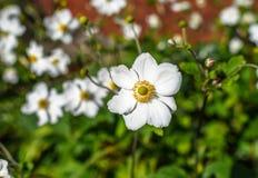 日本银莲花属 库存照片