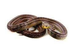 日本镶边蛇 库存照片