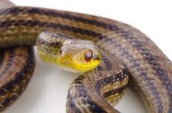 日本镶边蛇 免版税库存图片