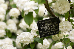 日本雪球灌木,荚莲属的植物plicatum f 不育的tomentosum ' 库存图片