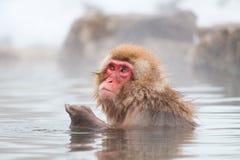 日本雪猴子短尾猿在温泉Onsen Jigokudan公园, 库存图片