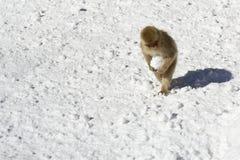 日本雪猴子,运载的雪球 图库摄影