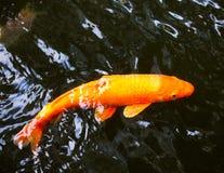 日本鲤鱼在池塘 库存照片