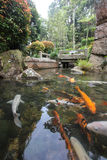 日本鲤鱼或Koi 库存图片
