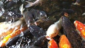 日本鲤鱼 影视素材