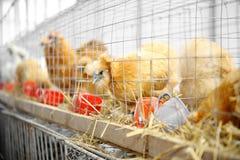 日本鸡 免版税库存照片